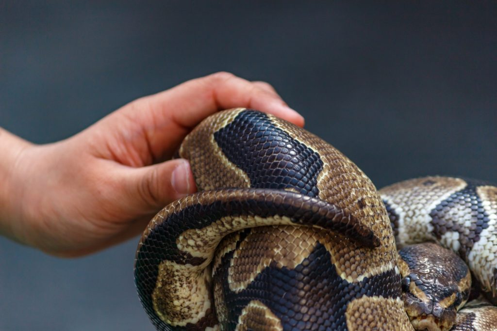 飼っているヘビが死んだ!原因と対策、ヘビの寿命や埋葬方法まで解説!