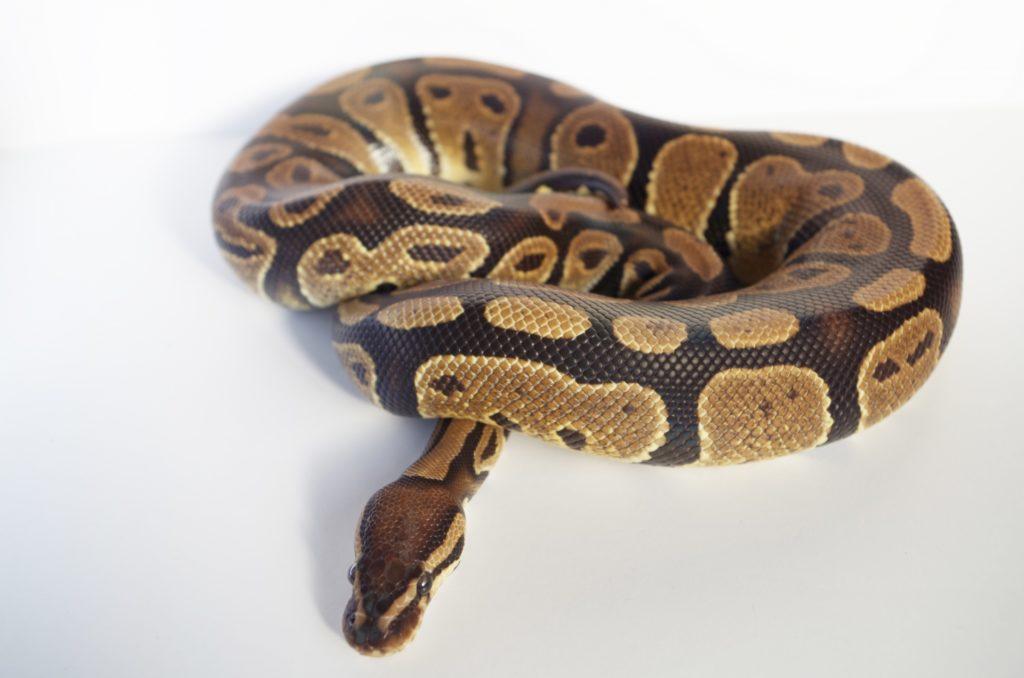 ヘビを飼育する費用とは!ヘビのサイズ別に飼育コストと節約を考えます!