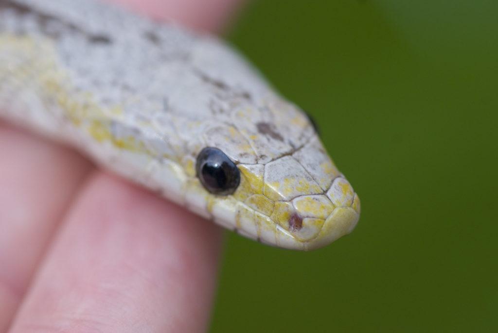 健康なヘビを選ぶポイント5つ!長生きする生体の条件とチェック方法!