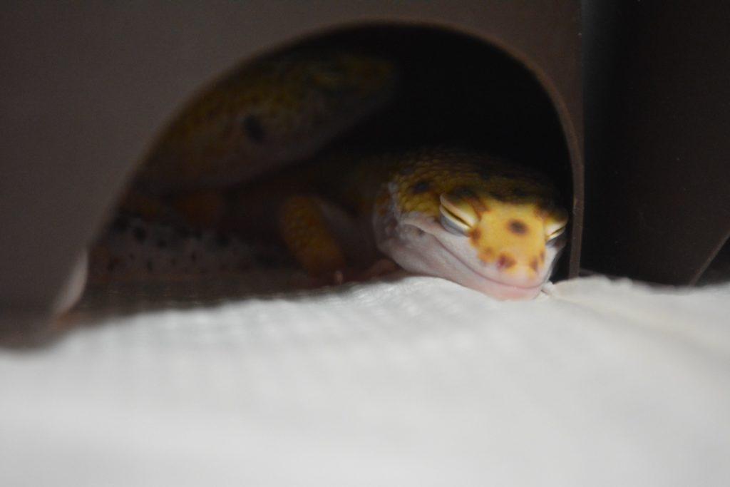 爬虫類を購入したら!正しい扱い方・接し方をお迎え当日から解説します!