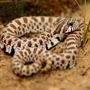 小型の蛇!セイブシシバナヘビとは!魅力・飼育方法・モルフを解説です!
