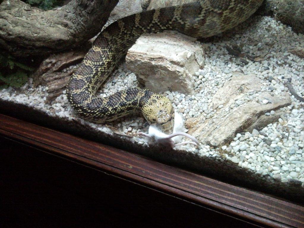 ヘビのタイプ別!おすすめの餌と与え方!マウス・ウズラ・小赤など!