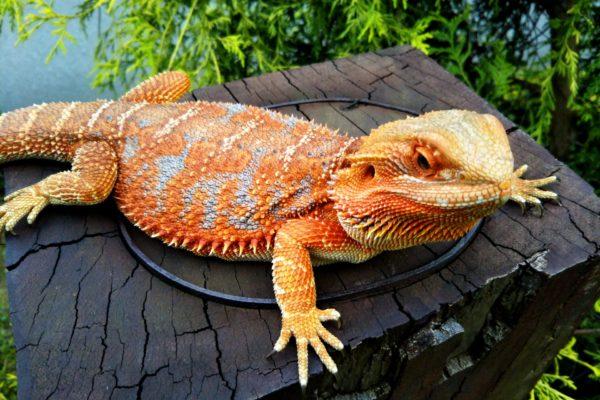 爬虫類に野菜をあげよう!野菜を食べる生体とエサにおすすめな野菜7選!