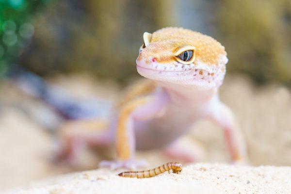 ミルワームの爬虫類への与え方!保存が簡単だけど与えすぎは肥満になる?